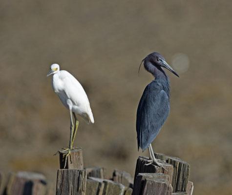 Snowy Egret and Little Blue Egret