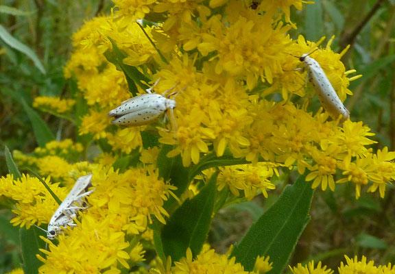 Yponomeuta species