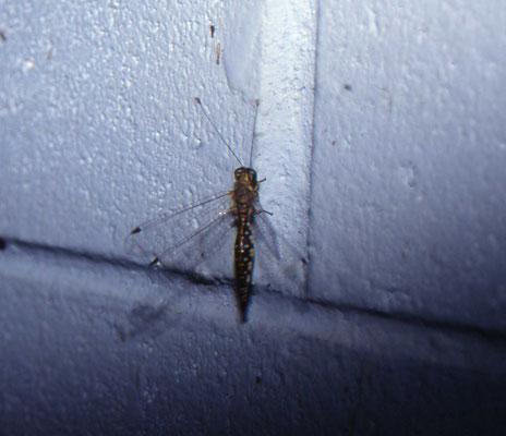 mierenleeuwachtige