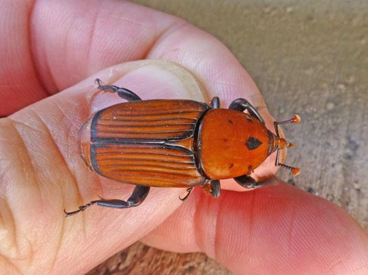Rhynchophorus ferrugineus - Rode palmkever