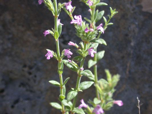 Satureja montana - Bergbonenkruid