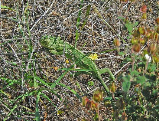 Chamaeleo chamaeleon - Gewone kameleon