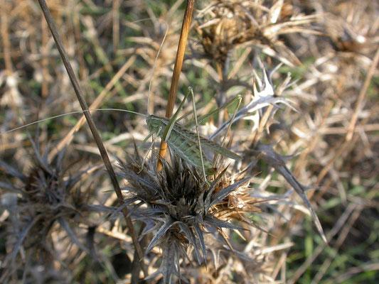 Tylopsis liliifolia