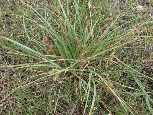 Carex extensa - Kwelderzegge