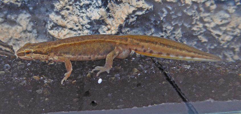 Lissotriton vulgaris vulgaris - Kleine watersalamander