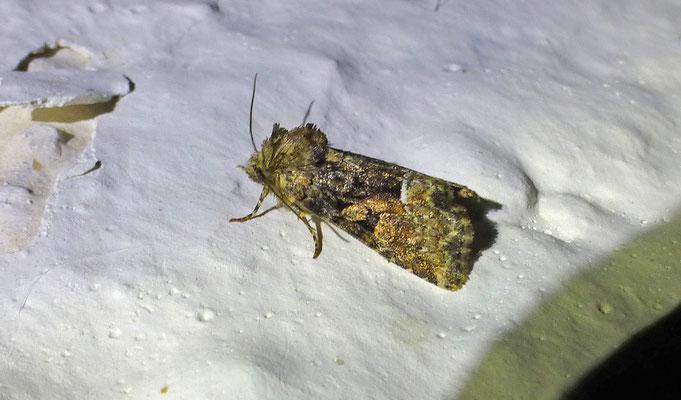 Oligia versicolor - Bont halmuiltje