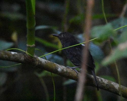 Blackisch Antbird