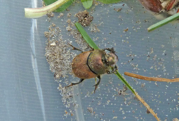 Onthophagus coenobita - Aasmestkever