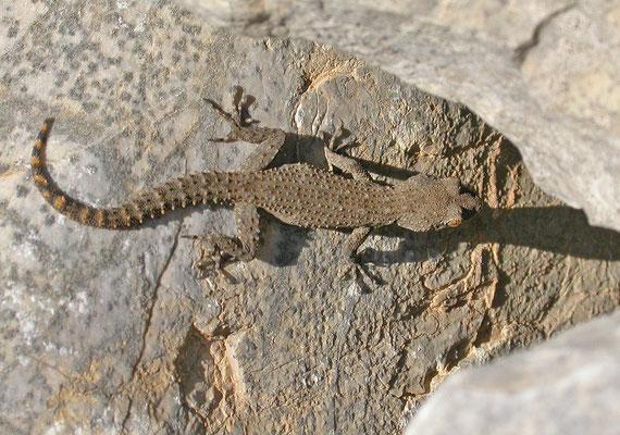 Mediodactylus kotschyi - Egeïsche naaktvingergekko