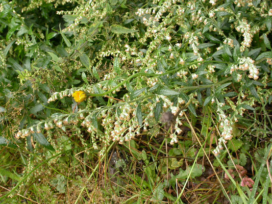 Artemisia vulgaris - Bijvoet