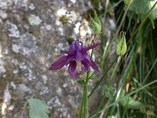 Aquilegia vulgaris -Wilde akelei