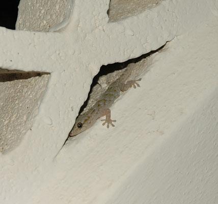 Tarentola delalandii - Canarische gekko