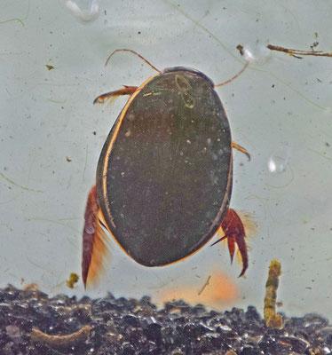 Cybister lateralimarginalis -Tuimelaar