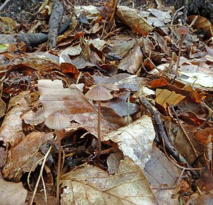 Mycena sanguinolenta - Kleine bloedsteelmycena