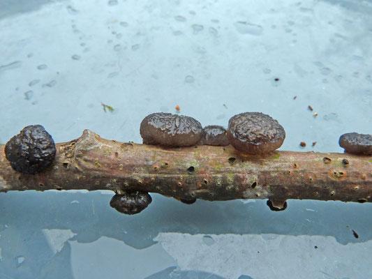 Diatrypella quercina - Eikenschorsschijfje en Exidia truncata - Eikentrilzwam