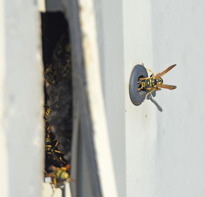 wespensoort