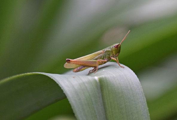 Chorthippus paralellus - Krasser