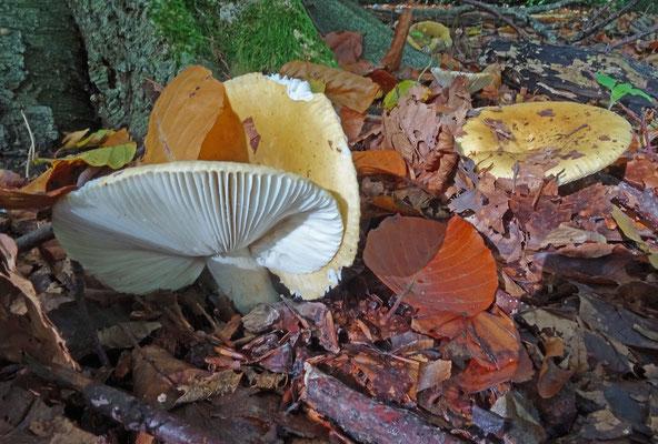 Russula ochroleuca - Geelwitte russula