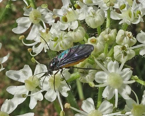 Sciara species