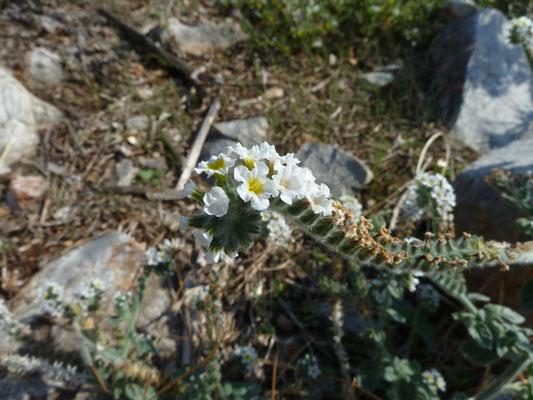Heliotropium europaeum - Europese heliotroop