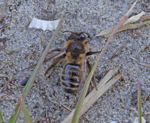Andrena fuscipes - Heidezandbij