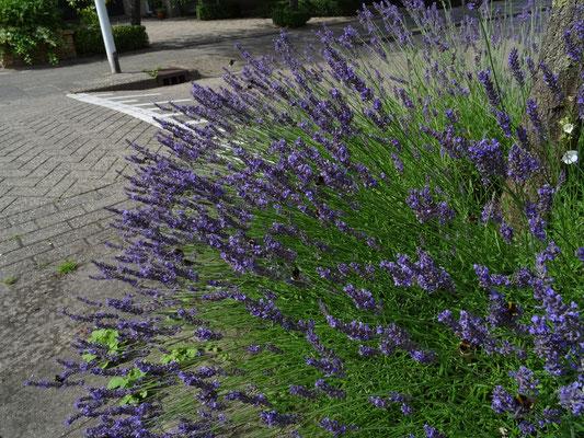 Lavandula angustifolia - Echte lavendel