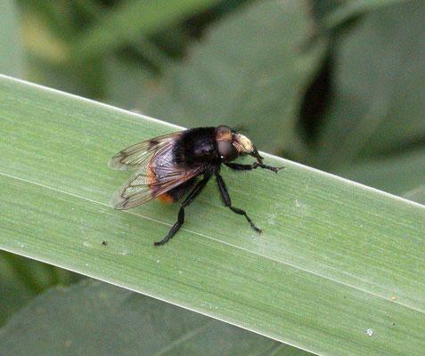 Volucella bombylans - Hommelreus