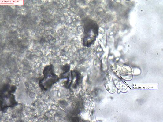 Leucoagaricus serenus - Witte champignonparasol