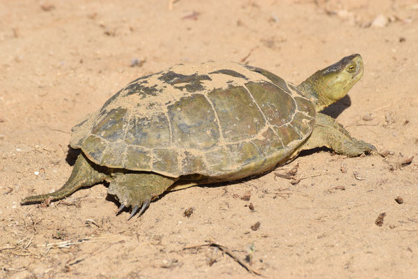 Mauremys leprosa - Moorse beekschildpad
