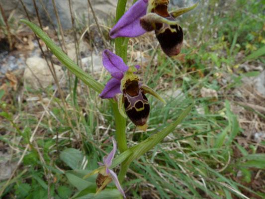 Ophrys scopolax - Snipophrys