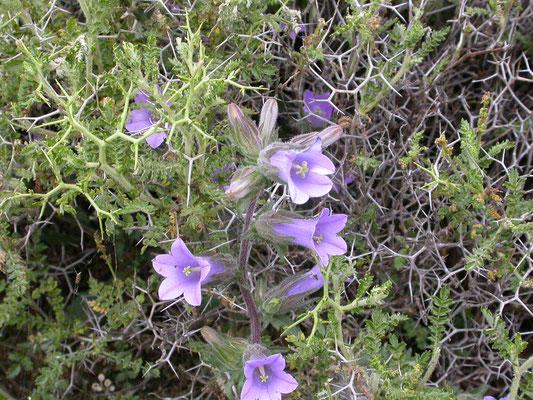 Campanula trachelium - Ruig klokje
