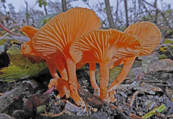 Haasiella venustissima - Prachttrechtertje