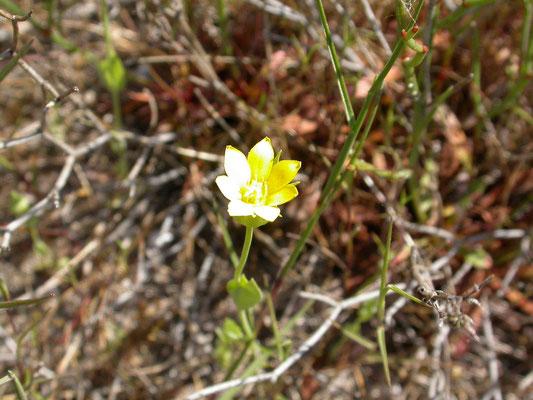 zomerbitterling (Blackstonia perfoliata subsp. perfoliata )