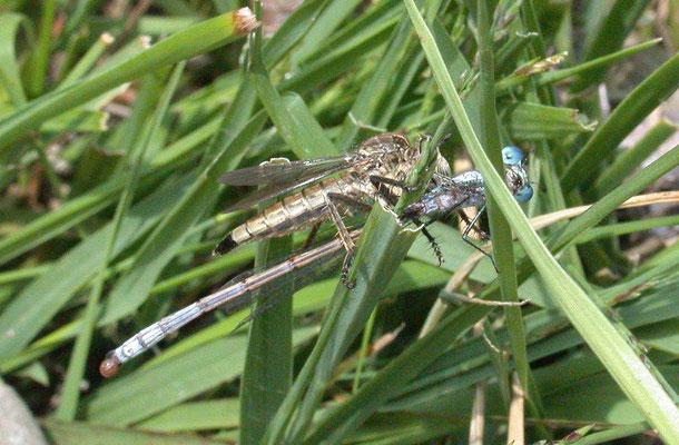 Philonicus albiceps - Zandroofvlieg met waterjuffer