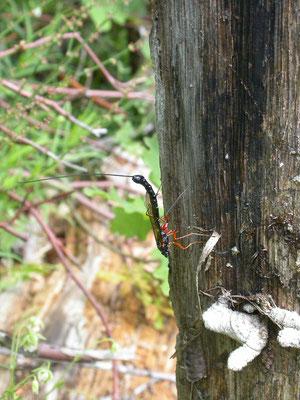 Rhyssa persuaria - Houtsluipwesp