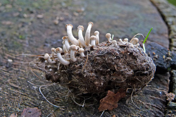 Onygena corvina - Vogelveerzwammetje