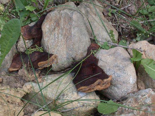 Osmoporus odoratus - Korianderzwam