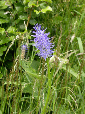 Phyteuma spicatum nigrum - Zwartblauwe rapunzel