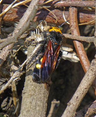 Triscolia maculata
