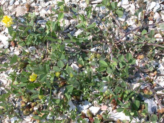 Trifolium campestre - Liggende klaver