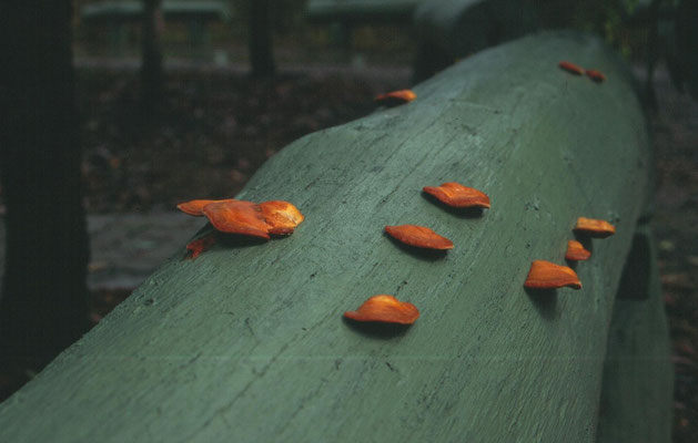 Pycnoporus cinnabarinus - vermiljoenhoutzwam