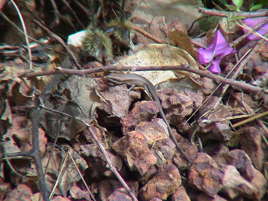 Brown-flanked Skink - Mabuya affinis