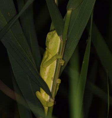 Europese kameleon (Chameleo chameleon)
