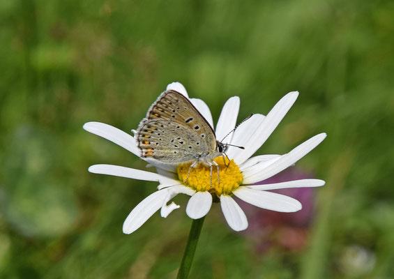Huben, Tirol, Oostenrijk; ssp alpinus