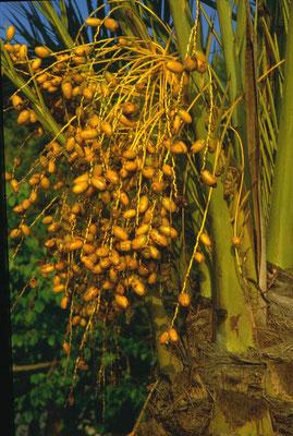 Phoenix dactyliferae - Echte dadelpalm