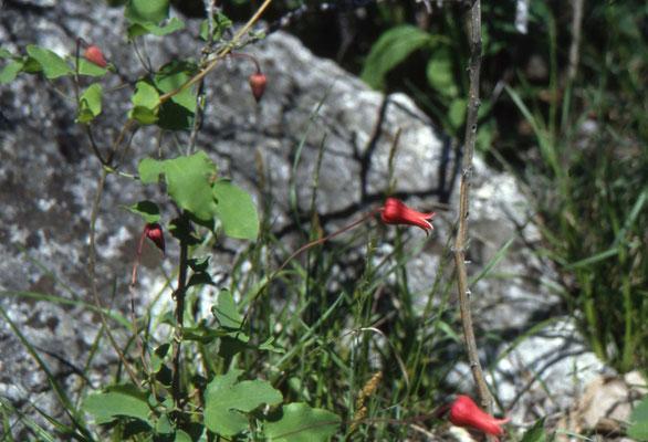 Clematis texensis - Scarlet Climatitis