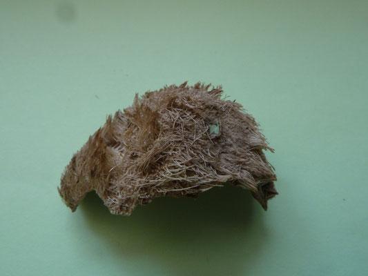 Echinocardium cordatum - Hartegel (Zeeklit)