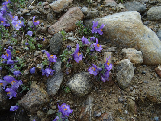 Linaria alpina - Alpen-vlasleeuwenbek