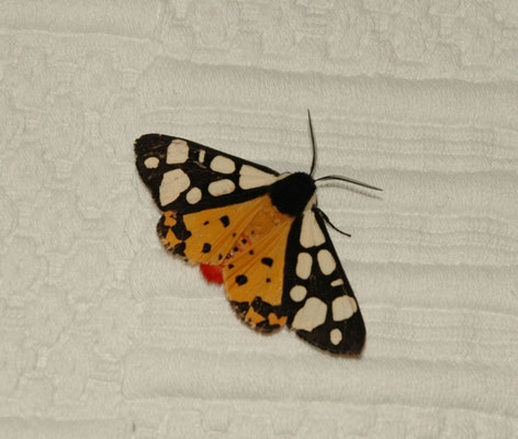 roomvlek (Arctia villica)
