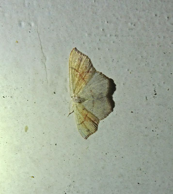 Cyclophora punctaria - Gestippelde oogspanner